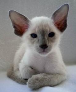 cats pedigree