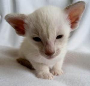 kittens pedigree