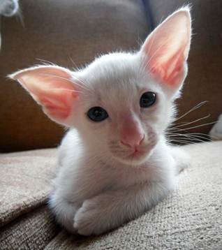 Cat Pedigrees for Cat Breeders - Siamese Cats and Kittens