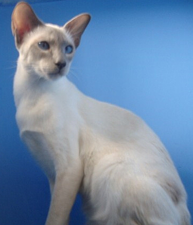 Related Keywords & Suggestions for lilac point siamese cats