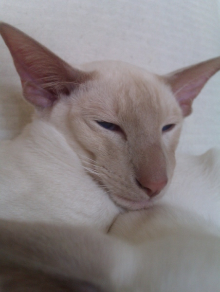 Fawn point Siamese cat
