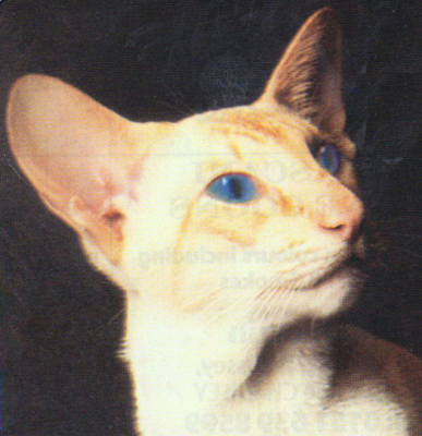 Red Point Siamese Cats - Siamese Cat Breeder