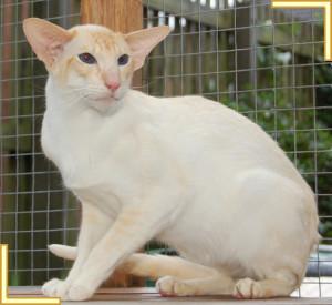 Siamese Stud Cats