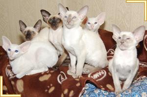Siamese Cat Breeders