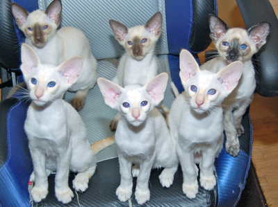 Siamese Kittens For Sale Siamese Cat Breeder