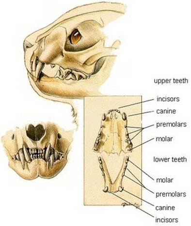 Adult Cats Teeth