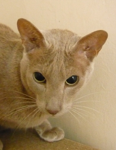 oriental cat is going blind