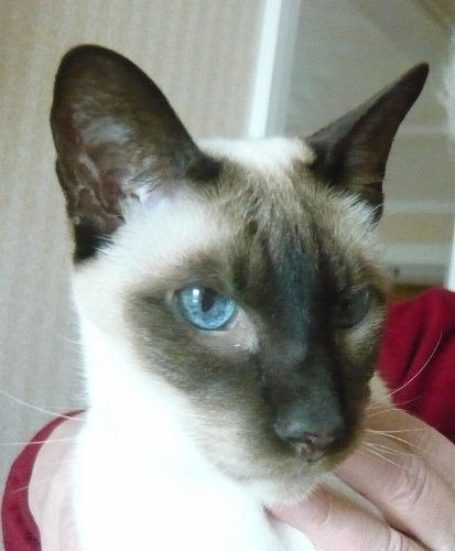 Siamese cat is losing his sight
