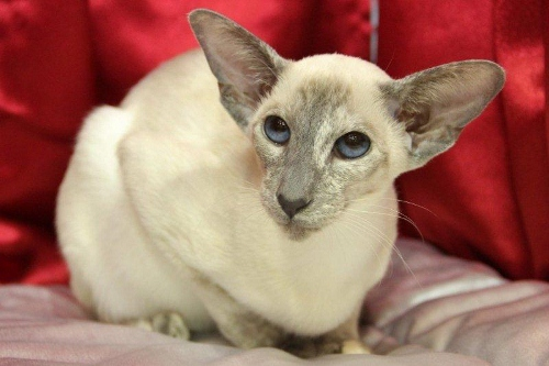 Tortie Point Siamese Cats