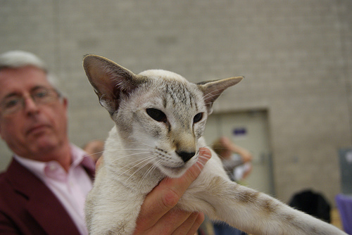 Yorkshire Oriental and Siamese Photos 2013