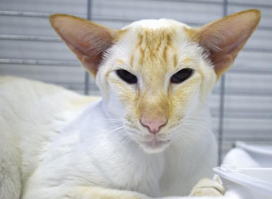 Siamese Cat Club Show Results 2013