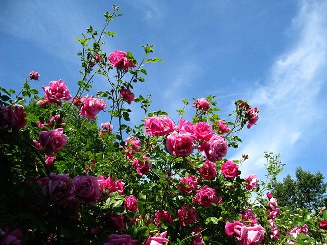 roses-81990_640