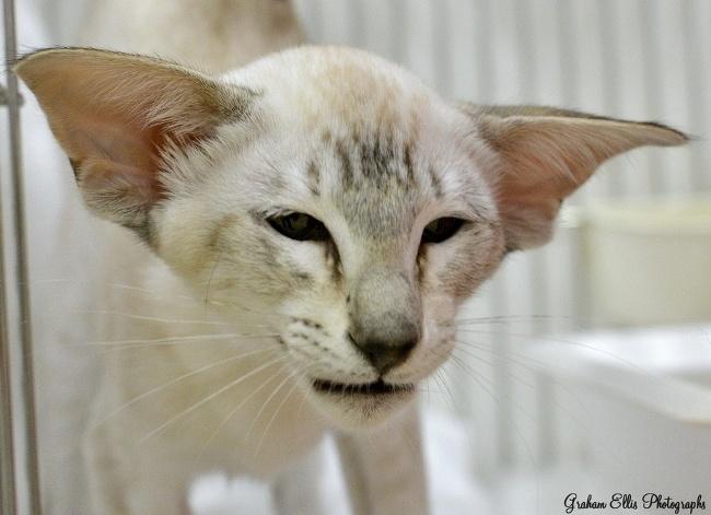 Oriental Cat Association Siamese & Oriental Pictures 2015