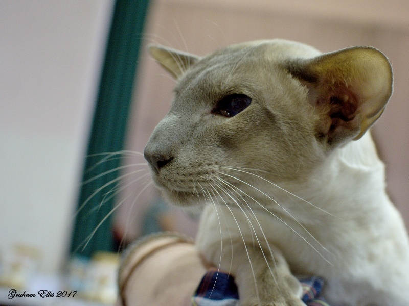 Chocolate and Midshires Siamese and Oriental Pictures 2017